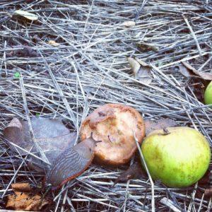 Babosa y manzanas